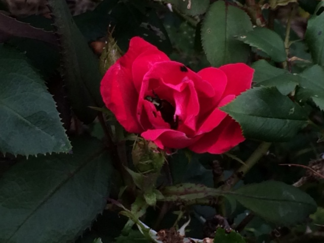 I had to capture this bug making its home among the rose peddles.
