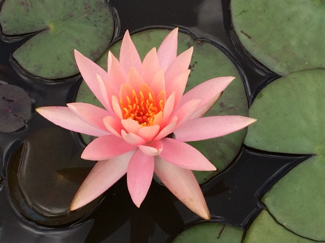 Water Lilly in local greenhouse in human made pond - beautifully crafted and health lily pads.