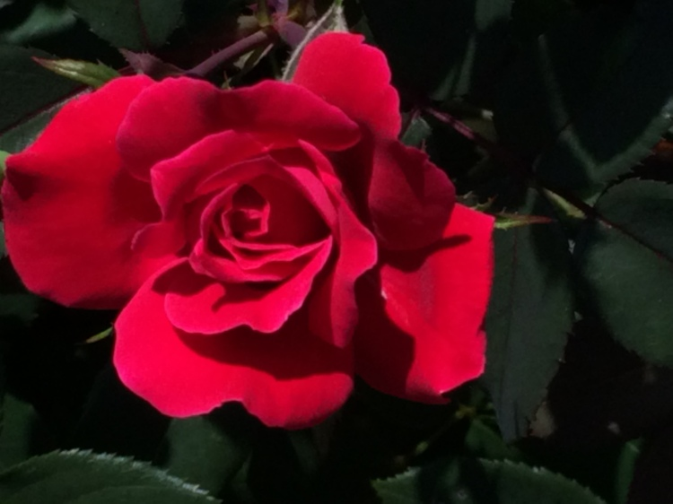 Red Rose in a local yard in Boonsboro - beautifully maintained yard gardens in town.